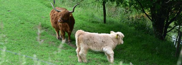 Highland Kuh mit Kalb in Unterpentinghausen