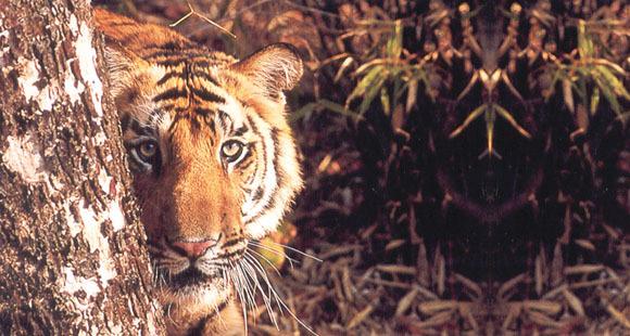 Tiger hinter einem Baum im Ranthambore Nationalpark auf einer Indien Reise