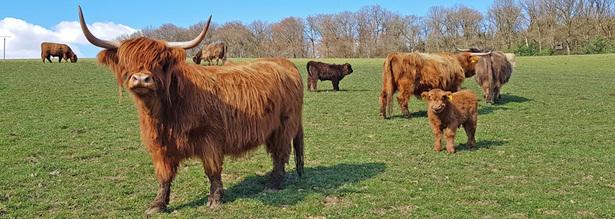 Highland Rinder in Unterpentinghausen