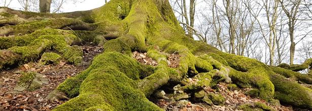 Mystische Baumwurzel im Oberbergischen