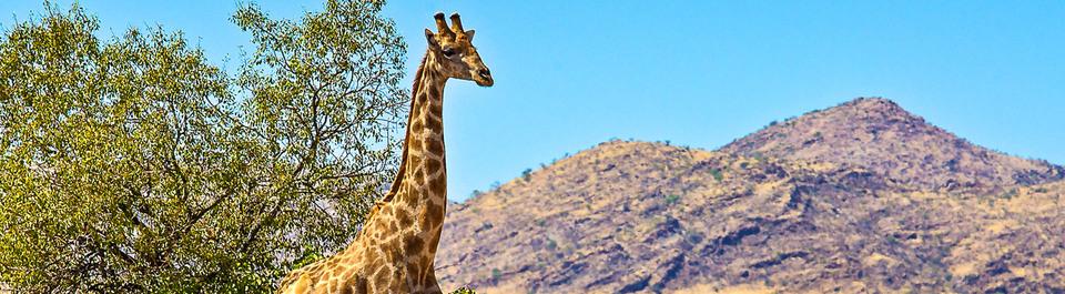Giraffe auf einer Namibia Rundreise, die vor einem Baum steht