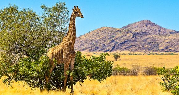 Giraffe an einem Baum in Namibia in steppenhafter Landschaft mit Hügeln im Hintergrund