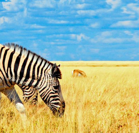 Gruppe von Zebras beim Grad fressen in Namibia