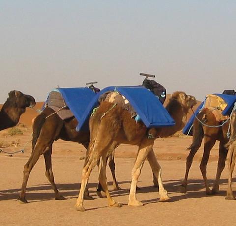 Zwei Beduinen mit sechs Kamelen am Rande der Sahara in Marokko