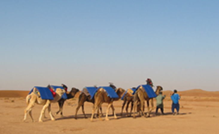 Kamele mit Beduinen in Marokko