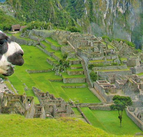 Lama vor den Inka Ruinen von Machu Picchu in Peru