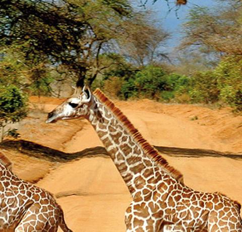Vier Giraffen beim Überqueren einer Sandpiste in Tansania