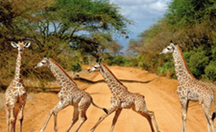 Giraffen in Tansania auf einer Safari